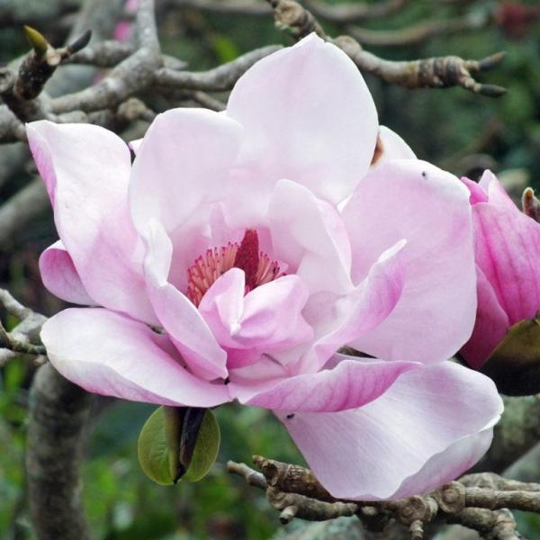 Magnolia 'Caerhay's Belle