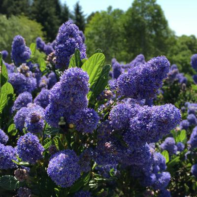 Ceanothus 'Skylark' in Lost Coast Brewery Native Plant Garden